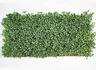 Microgreens grown with Terrafibre Hemp Products
