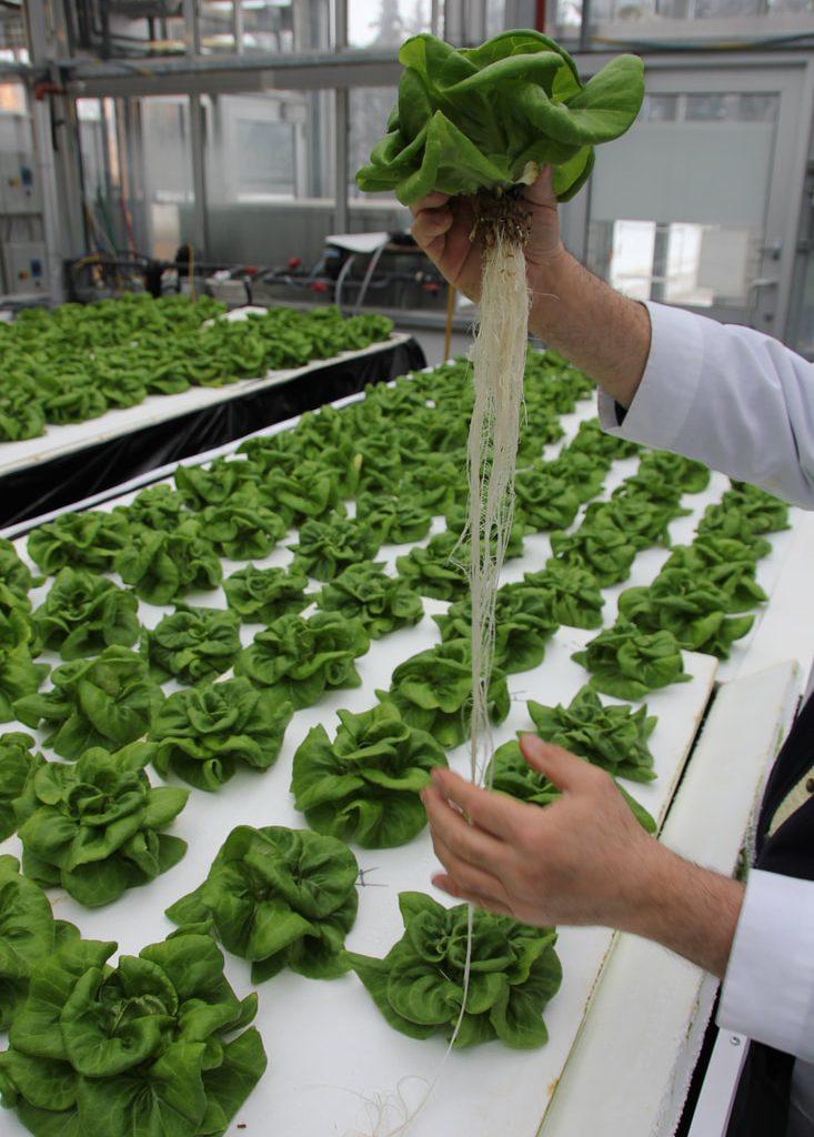 Hemp Grow Medium for hydroponic farming - lettuce