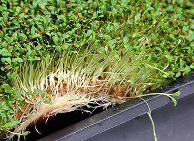 HEMP ROLL - Microgreens grown with Terrafibre Hemp Products