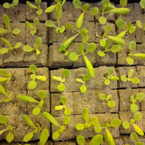 Biodegradable Hemp Grow Cubes for Germination