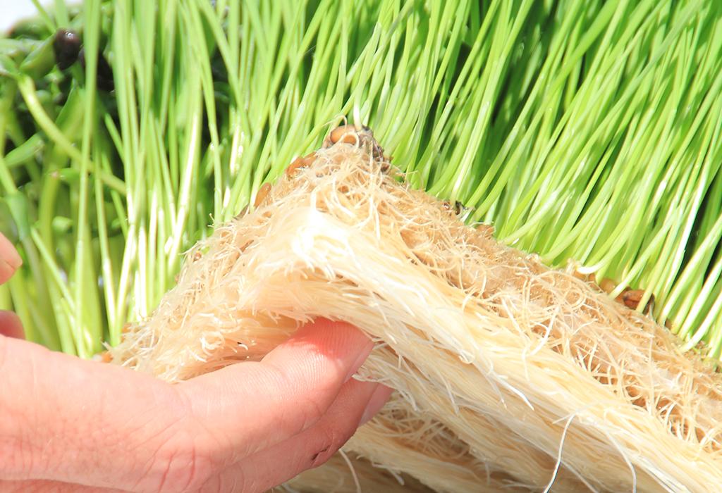 Maximum Yield Hemp Grow Products - grow hydroponically