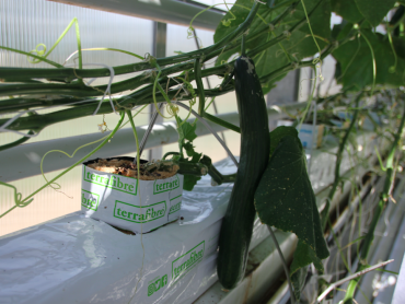 Terrafibre Hemp fibre growing slab for cucumbers