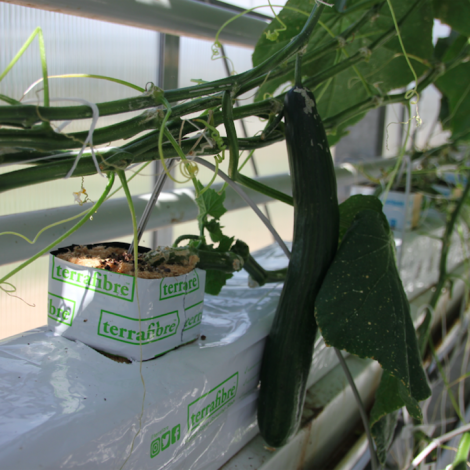 Terrafibre Hemp fibre growing slab for cucumbers