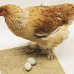 Poultry Nesting Sheets - Hemp Product